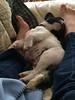 060 Tired Puppy