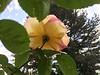 084 Rose