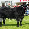 Aberdeen Angus Champion