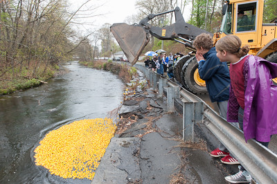 Thousands of rubber ducks vie to be first into Forestville Sunday at the Annual Pequabuck River Duck Race. Preston Thurston (11) in the blue hoodie of Bristol love's ducks! (Ray Shaw Special to The Press)bg
