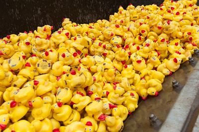 5000 rubber ducks vie to be first into Forestville Sunday at the Annual Pequabuck River Duck Race. (Ray Shaw Special to The Press)