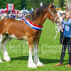 Champion Clydesdale