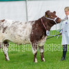 Other Native Beef Breed Champion (no 221) Beef Shorthorn Heifer from J E Bellas and Son