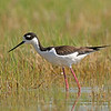 black-necked stilt othello washington