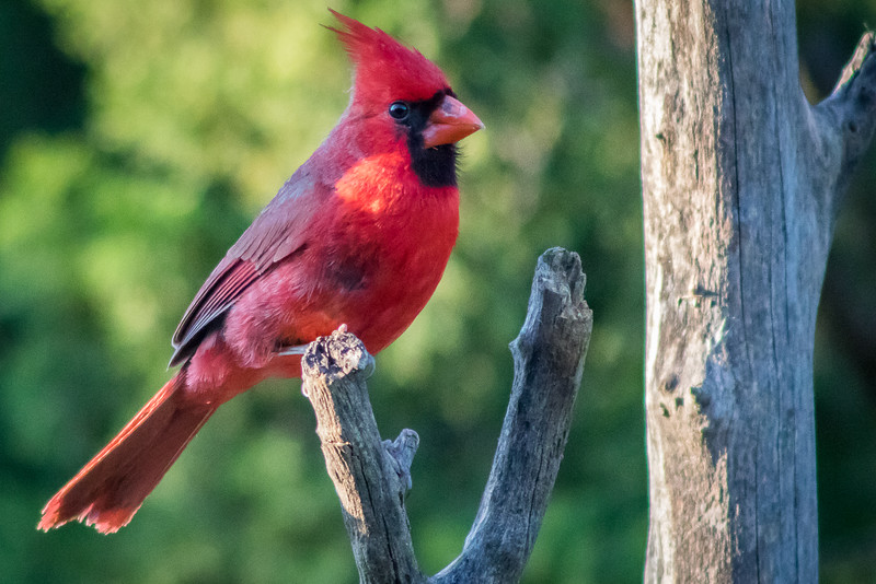 Palo Duro Canyon Cardinal