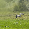 A Blue Heron coming in for a landing