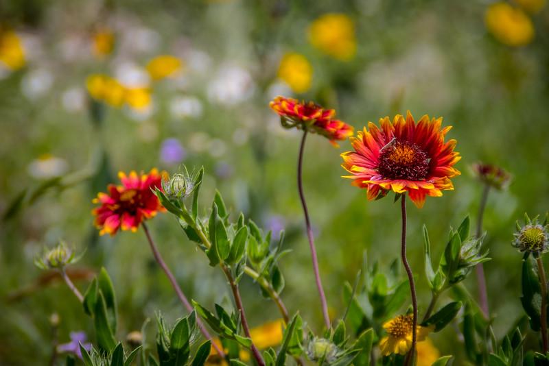 Wildflowers, Ochiltree County