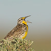 western meadowlark othello washington