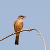 say's phoebe vantage washington