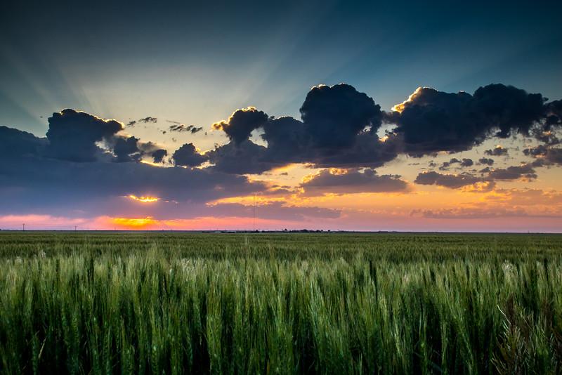 Morning Wheat