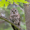 barred owl victoria bc