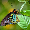 Carins Birdwing - Male 1