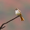 ash-troated flycatcher sedona arizona