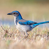 california scrub jay bradley california