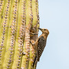 gila woodpecker sonoran desert arizona