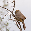 canyon towhee sonoran desert arizona