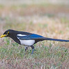 yellow-billed magpie bradley california