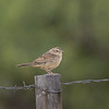 botteri's sparrow green valley arizona(record shot)