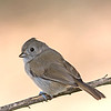 oak titmouse malibu california(charmlee)