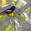 painted redstart madera canyon arizona