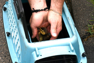 5/17/2018 Mike Orazzi | Staff Bristol fire fighters and animal control rescued  recuse six ducklings from storm drains on Village Street in Bristol Thursday afternoon.