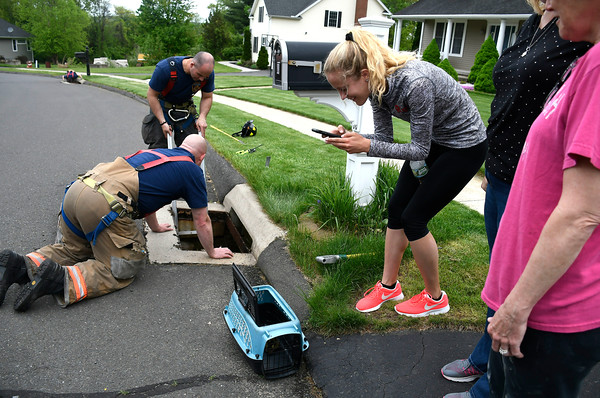 5/17/2018 Mike Orazzi   Staff Bristol fire fighters and animal control rescue recuse six ducklings from storm drains on Village Street in Bristol Thursday afternoon.