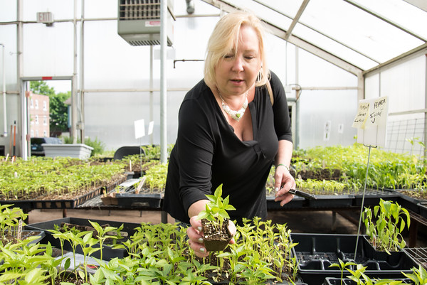 05/18/18 Wesley Bunnell | Staff Karin White picks out pepper plants at Urth Farms annual organic seedling sale on Friday afternoon. The sales are scheduled for Friday and Saturdays over the next three weekends.