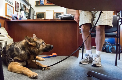 06/05/18  Wesley Bunnell | Staff  Izaac, a service dog belonging to Newington Superintendent of Parks and Recreation Bill DeMaio, who is blind, looks up as DeMaio starts to give his instructions.