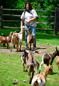 5/25/2019 Mike Orazzi | Staff Terri Battaglia herds goats during the Fairy Goatmother play date held at Bradley Mountain Farm in Southington on Saturday.
