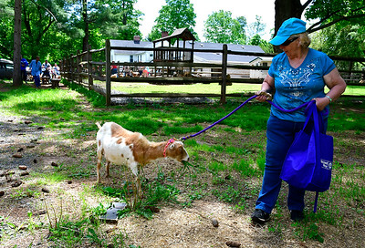 5/25/2019 Mike Orazzi | Staff Dottie Elmore walks with Sweet Pea during the Fairy Goatmother play date held at Bradley Mountain Farm in Southington on Saturday.