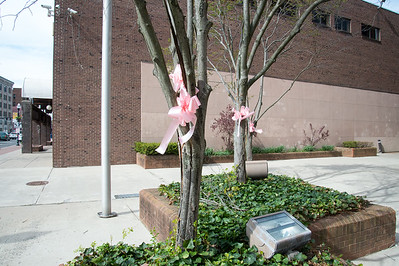 05/6/19  Wesley Bunnell | Staff  Pink ribbons decorate trees in front of CCSU's ITDB building on Main St in advance of the CT Breast Health Initiative's Race in the Park.