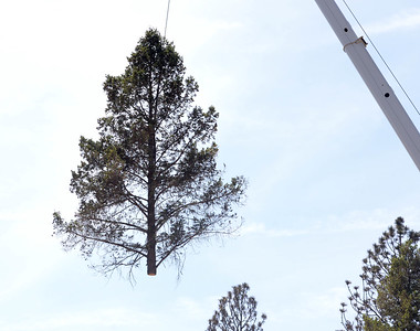 A tree trop is lifted up on a crane Wednesday in Paradise. (Matt Bates -- Enterprise-Record)