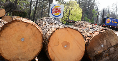 Cut trees are stacked up in a Burger King parking lot Wednesday in Paradise. (Matt Bates -- Enterprise-Record)