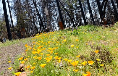 Wildflowers bloom within the reamins of a house Wednesday in Paradise. (Matt Bates -- Enterprise-Record)