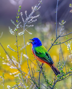 The colorful Painted Bunting male chirps away @ THR