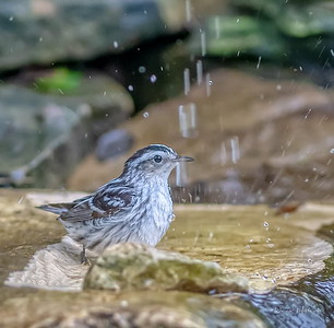 Black and White Warbler bath