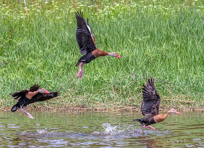 Black-bellied Whistling Ducks on the move
