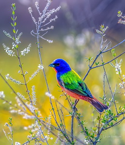 Painted Bunting in all its splendor