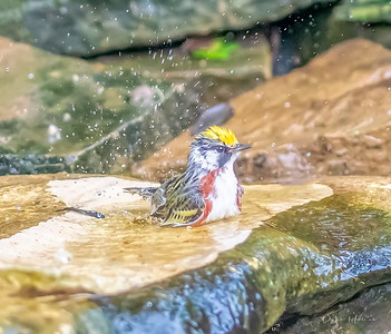 Chestnut-sided Warbler splashing away
