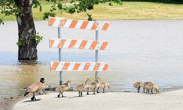 KEVIN HARVISON | Staff photo<br /> Geese walk their way to the water near a roadway in Eufaula.