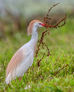 Cattle Egret with an interesting load of nest building material