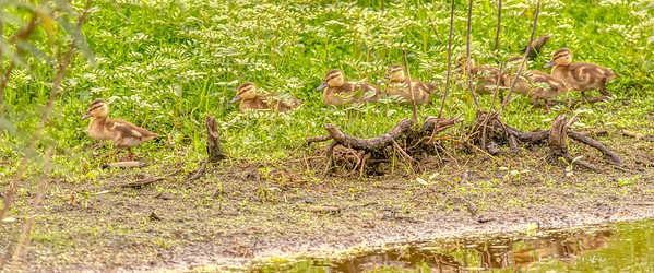 Ducklings lagging a bit behind momma
