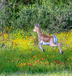 Blackbuck leaps through the wildflowers @ THR