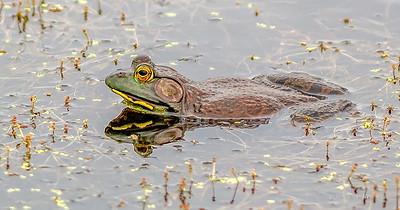 THR Bullfrog