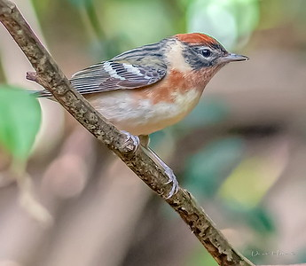 Bay-breasted Warbler male