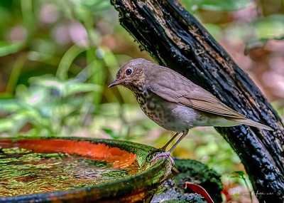 Hermit Thrush quenches his thirst