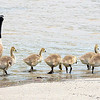 KEVIN HARVISON   Staff photo<br /> Geese wade into the water near the roadway at Lake Eufaula.