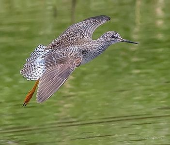 A Lesser Yellowlegs glides in for a landing