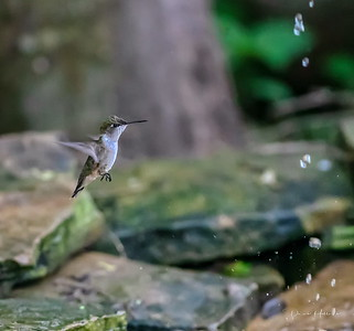 Ruby-throated Hummingbird buzzing in for a drink