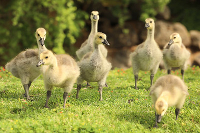 Young geese explore the pond on California Park Drive on Monday in Chico. (Carin Dorghalli -- Enterprise-Record)